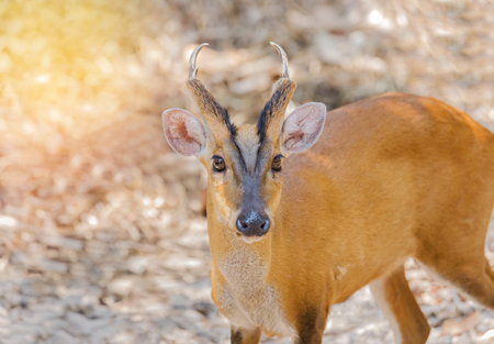 Close up young barking deer (Muntiacus muntjak) in the natural Stock Photo