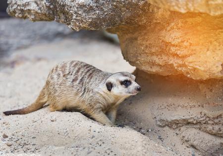 meerkat (Suricata suricatta ) is looking alert under the rock Stock Photo