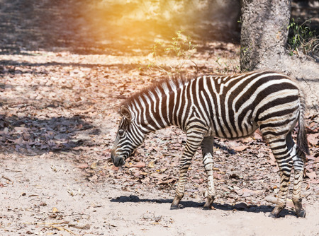 plains zebra (Equus quagga) or Burchells zebra (Equus burchelli) standing in nature