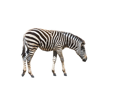 plains zebra (Equus quagga) or Burchells zebra (Equus burchelli) standing isolated on white background Stock Photo