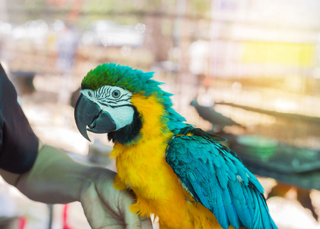 Close up blue and yellow macaw or blue and gold macaw bird