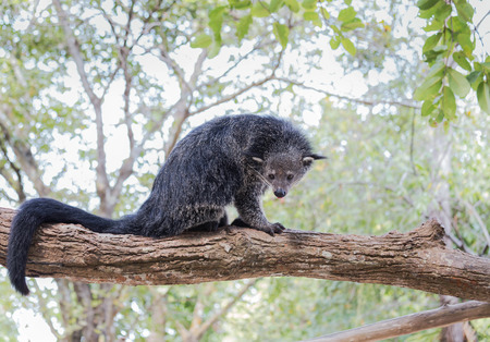 Binturong or bearcat (Arctictis binturong) sitting on the branch of tree  in nature