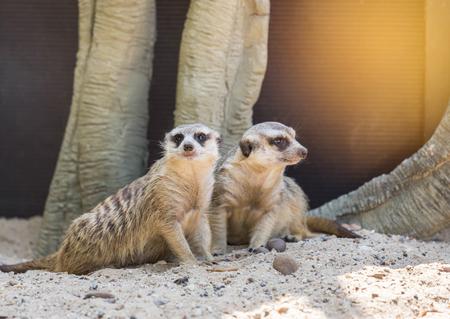 meerkats (suricata suricatta ) is looking alert under the rock Stock Photo