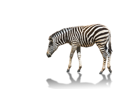plains zebra (Equus quagga) or Burchells zebra (Equus burchelli) standing isolated on white background Stock Photo