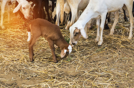 Close up little lamb with mother in barn Stock Photo