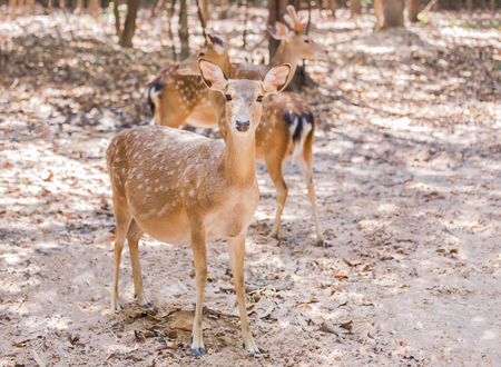 close up young sika deers or spotted deers or Japanese deers (Cervus nippon) resting in natural