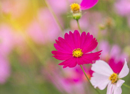 yellow stamens: close up colorful pink cosmos flowers blooming in the field on sunny  day
