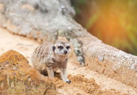 meerkat (suricata suricatta ) is looking alert near the rock Stock Photo