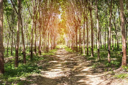 Row of para rubber tree in plantation garden at Thailand Stock Photo
