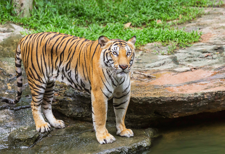 sumatran tiger: tiger stand looking relaxation in nature