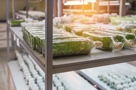 row of glass bottle plant tissue culture on shelf  in laboratory plant tissue culture in glass bottle at laboratory