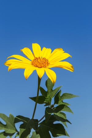 Japanese sunflower or mexican sunflower weed  blooming on blue sky background