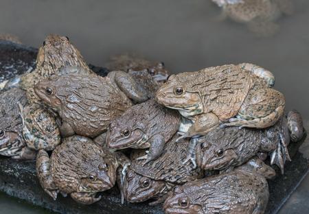 close up edible frogs amphibian animal in concrete tank habitat at aquaculture farm