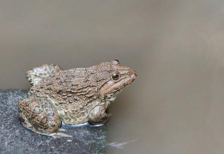 close up edible frog amphibian animal in concrete tank habitat at aquaculture farm
