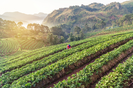 Sunrise in early morning at rows of green terraced strawberry plantation with woman tribe is collecting strawberries from the strawberry plantation at Doi Ang khang Chiang Mai Thailand