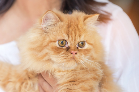 close up brown persian cat looking stare in embrace woman Stock Photo