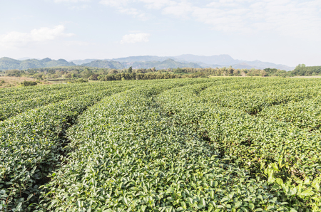 Rows of green terraced Choui Fong tea plantation on highland at Mae jan Chiang Rai, Thailand.