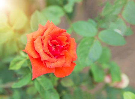 Close up single orange rose in the garden selective soft focus Stock Photo
