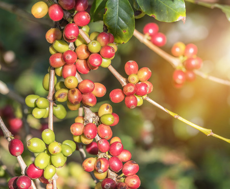 Close up group of colorful many coffee seeds ripening on tree in coffee plantation