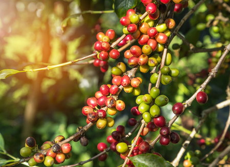 colorful many coffee seeds ripening on tree in coffee plantation in north of thailand selective focus 스톡 콘텐츠