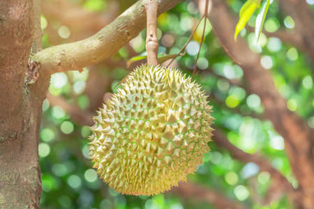 Fresh Durian (Durio zibethinus) king of tropical fruit hanging on brunch tree growth in organic garden