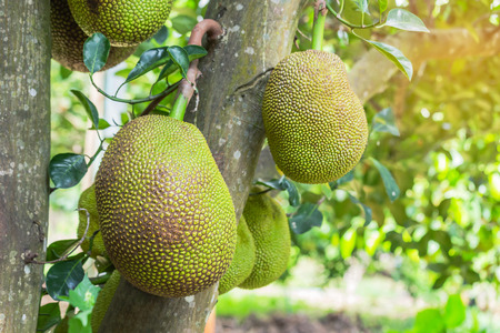 fresh green Jack fruit ( Artocarpus heterophyllus ) hanging on brunch tree in the garden