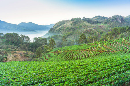 Sunrise in the morning with white fog on rows of green terraced strawberry plantation at Ban Nor Lae village Doi Ang khang Chiang Mai Thailand