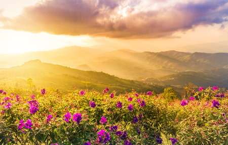 sunset landscape view at mountains doi chang mup Chiangrai,nothern Thailand selective focus at pink impatiens balsamina flowers