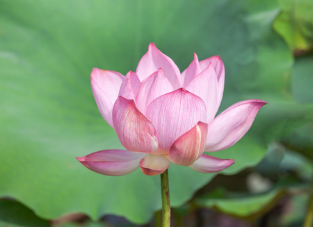 Close up pink lotus flower or Sacred lotus flower ( Nelumbo nucifera ) with green leaves blooming in lake on sunny day
