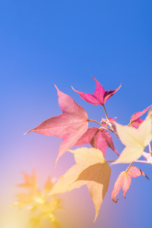 colorful pink maple leaves on blue sky in autumn time Reklamní fotografie