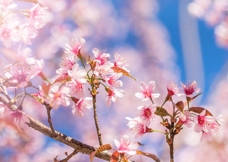 Close up Wild Himalayan Cherry blossoms (Prunus cerasoides) blooming on tree in season winter at Thailand with blue sky Reklamní fotografie