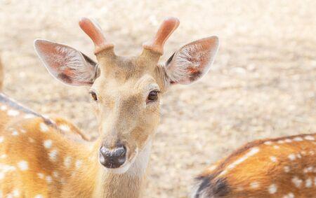 young male sika deers or spotted deers or Japanese deers (Cervus nippon) wild animal resting in natural 免版税图像