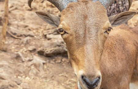 Close up head of Barbary sheep (Ammotragus lervia) resting in natural 免版税图像