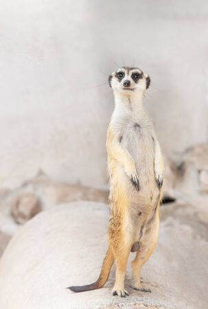 Meerkat (suricata suricatta ) wildlife animal standing on legs is looking alert