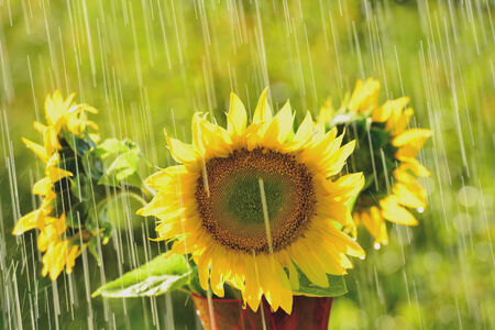 Summer rain and sunflower photo