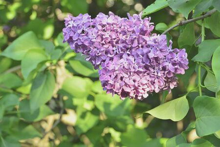 lilacs: The branch of blooming lilacs