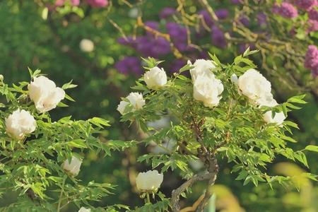 pfingstrosen: Flowers Strauchp�onien Lizenzfreie Bilder