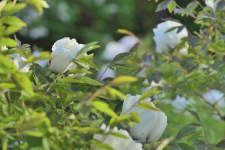 pfingstrosen: Flowers Strauchpäonien Lizenzfreie Bilder