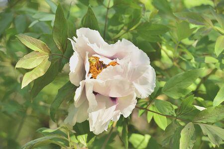 pfingstrosen: Flower tree peonies