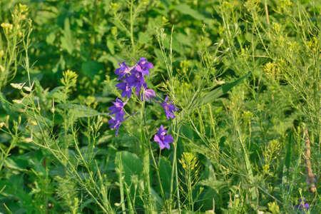 Wildflower: Blue wildflower Stock Photo