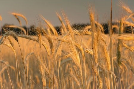 spikelets: Spikelets of wheat Stock Photo