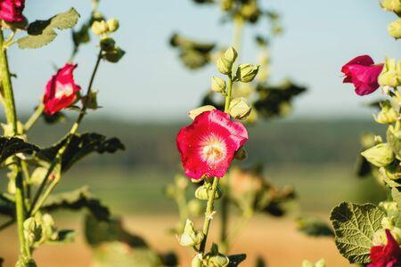 mallow: Beautiful mallow Stock Photo