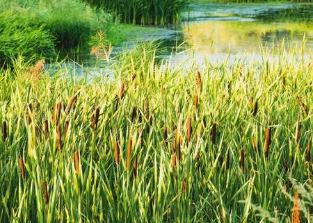 rushy: Plants on the lake