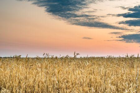granja: Amanecer en el campo de trigo