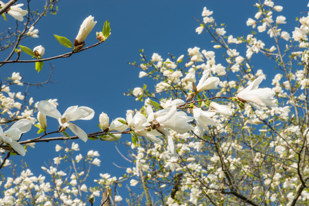 blooming: Blooming magnolia. Stock Photo