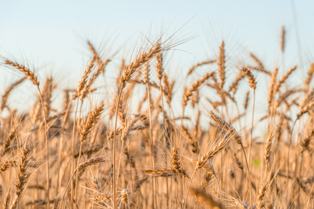 Spikelets of wheat in the rays of dawn.