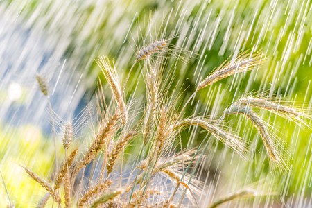 Summer rain and wheat spikelets.