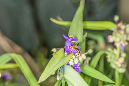 bee on flower: Bee on flower tradescantia.
