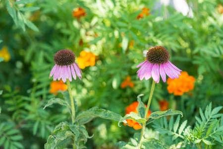 echinacea: Echinacea flowers. Stock Photo