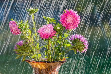 aster: Summer rain and beautiful aster.